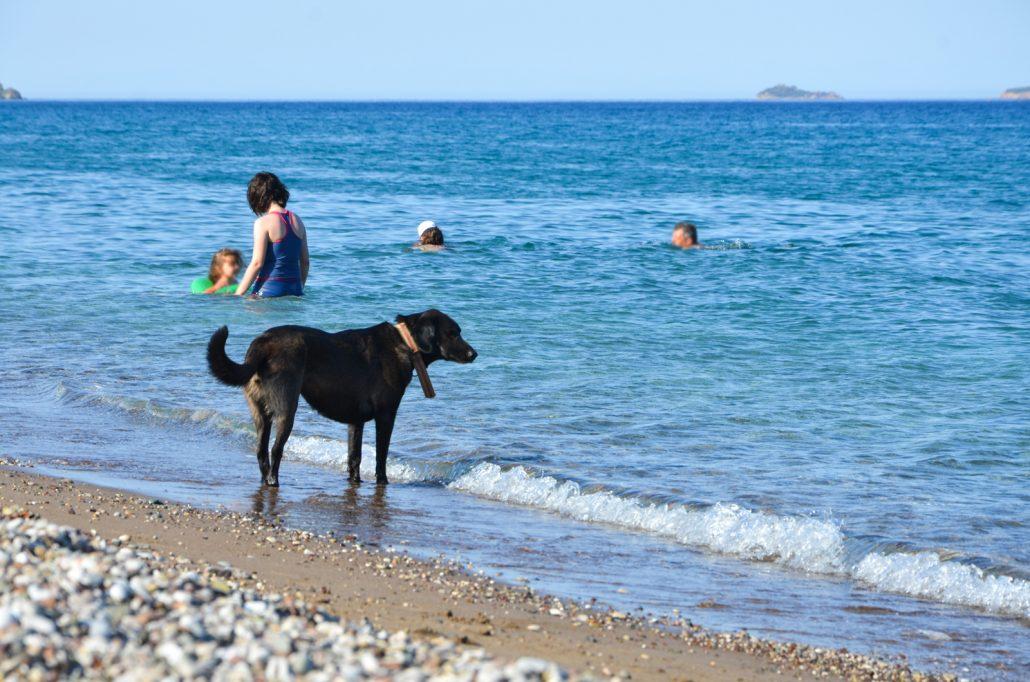 Çıralı plajında serinleyen köpek.