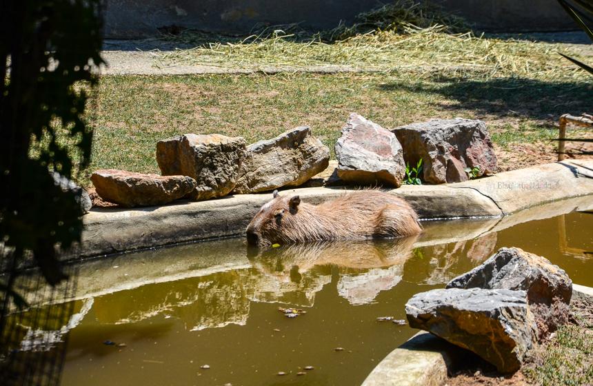 Faruk Yalçın Kapibara