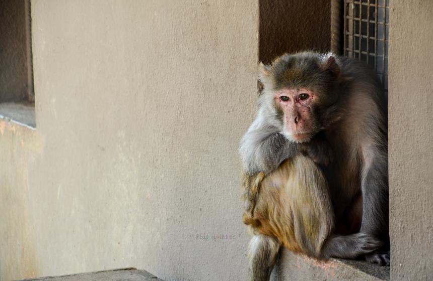 Makak Maymunu