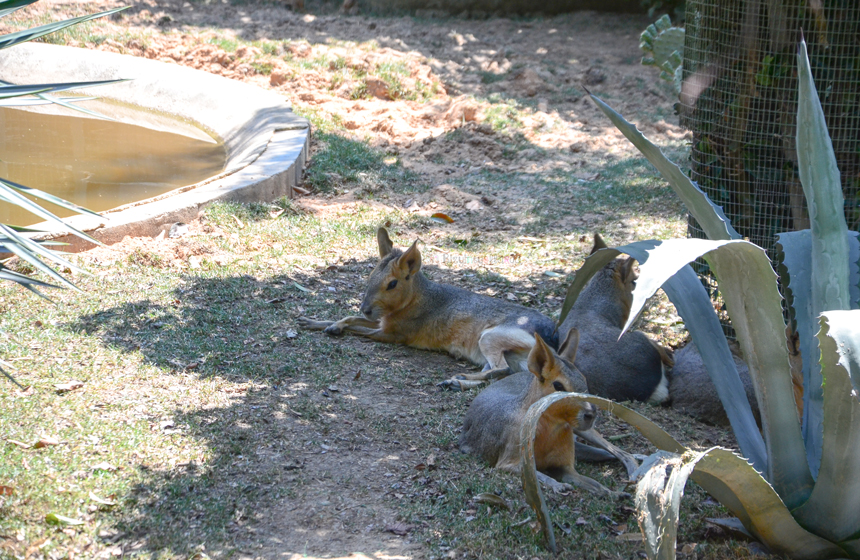 Mara (Dolichotis Patagonum)